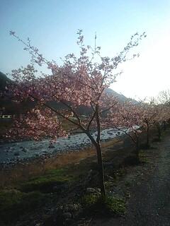 河津桜を見る
