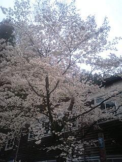 旧木沢小の桜