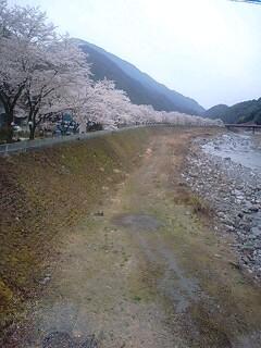 遠山川の桜並木