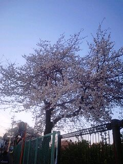 SAM石芝の桜