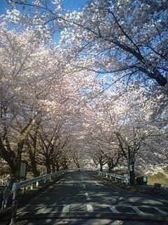 与田切公園のサクラ