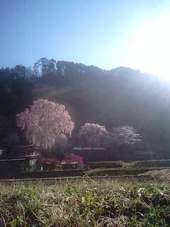 うしのりの桜