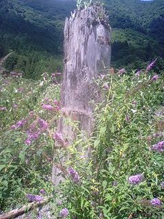 遠山郷の埋没木
