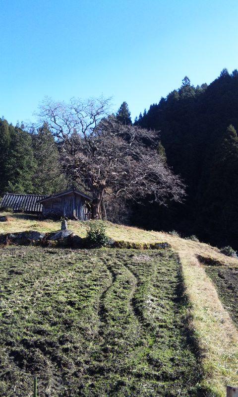 四季桜と柿の木