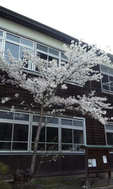 旧木沢小学校の桜