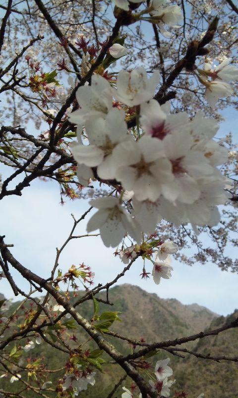 遠山川の桜