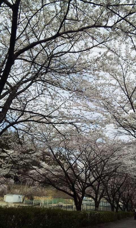 与田切公園の桜
