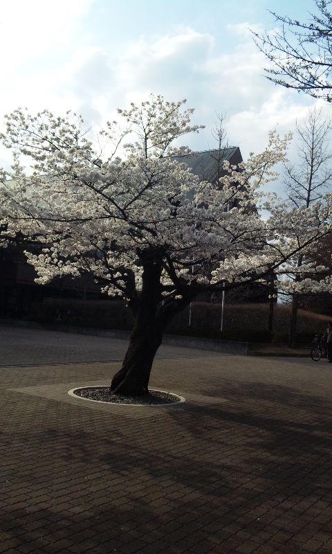 松本音楽文化ホールの桜