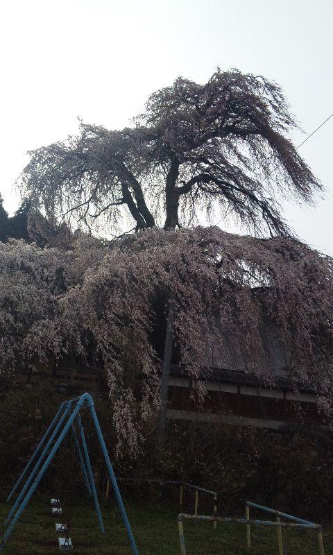 東漸寺のもう一本の枝垂れ桜