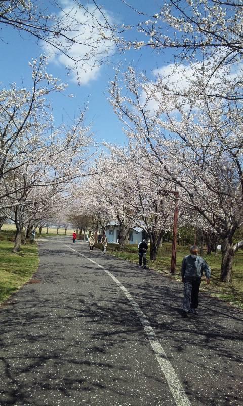 ランニングコースの桜並木