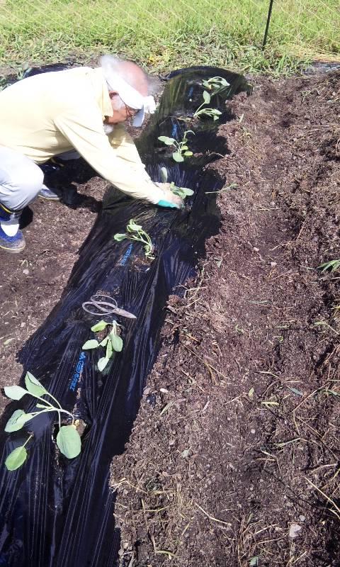芽キャベツ植え
