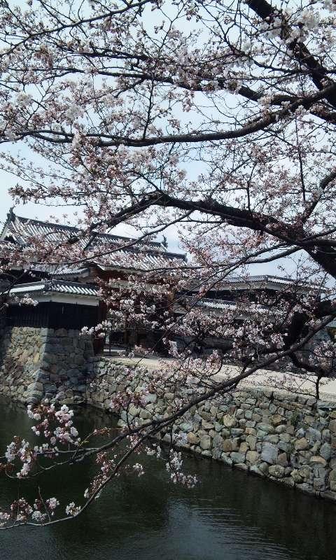 松本城のサクラ